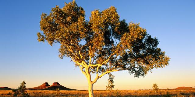 Pohon Emas Eucalyptus