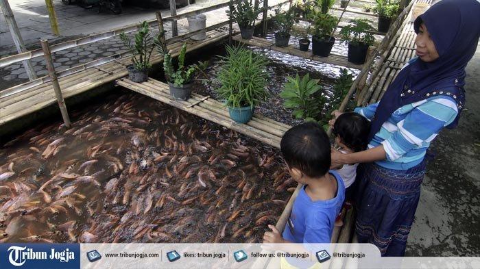 Video : Selokan Penuh Ikan Ini Bukan di Jepang, Tapi Yogyakarta