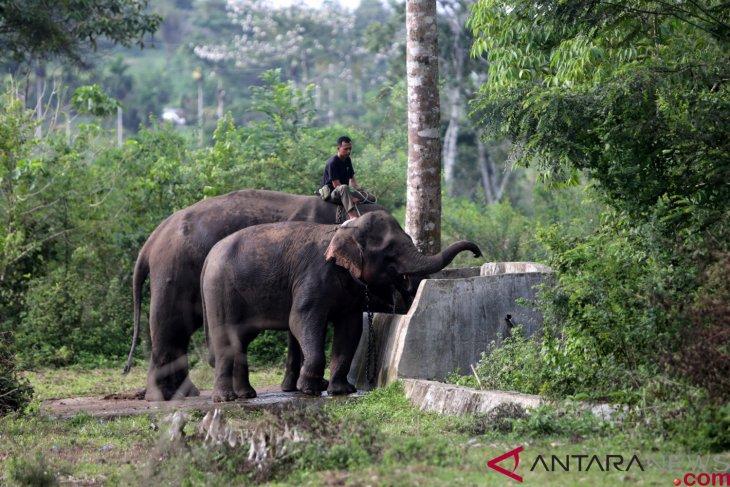 PLG Saree Aceh Amankan Gajah Liar