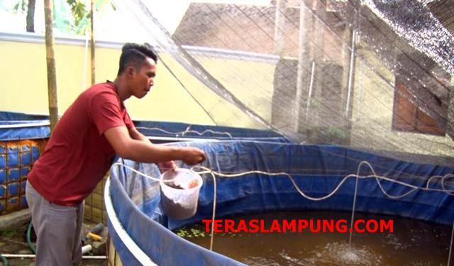 Pemuda Lampung Selatan Ini Jadi Inovator Budidaya Lele Bioflok Organik