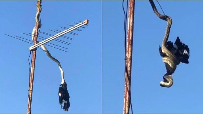 Viral Video Ular Bergelantungan Sambil Melilit Burung  di Antena TV
