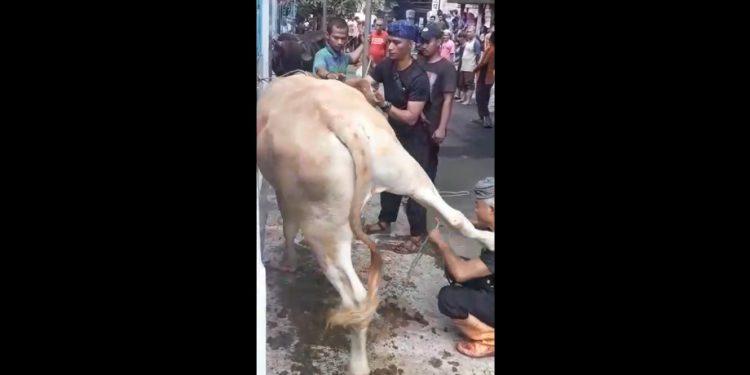 Tonton VIDEO : Ditendang Sapi Kurban, Lima Gigi Tukang Jagal di Cengkareng Copot