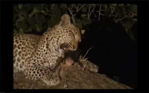[Video] Drama Ciptaan Allah: Macan Tutul Menyesal Usai Menerkam Induk Babun